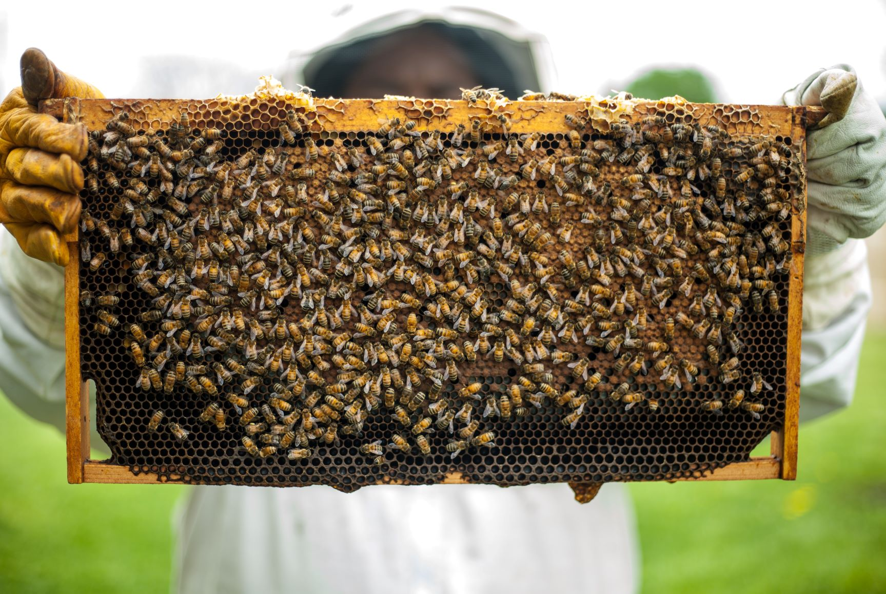A beekeeper holds up bees